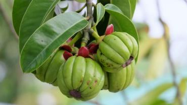 Getting The Scoop On Garcinia Cambogia